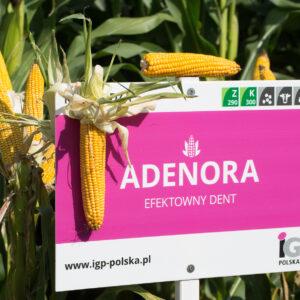 adenora kukurydza igp 3 1