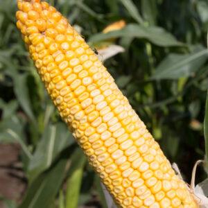 adenora kukurydza igp 4 1