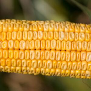 adenora kukurydza igp 5 1