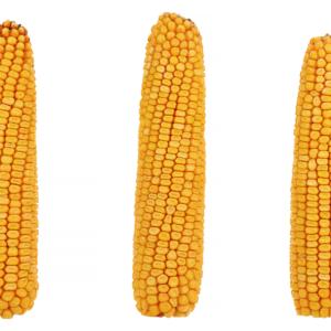 adenora kukurydza igp 9 1