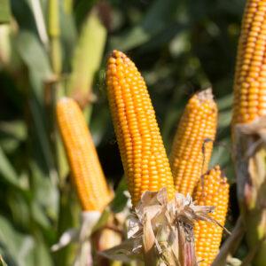 grapinga kukurydza igp 10 1