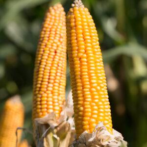 grapinga kukurydza igp 11 1