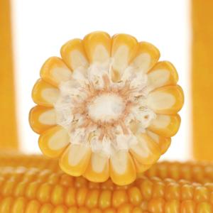 grapinga kukurydza igp 2 1