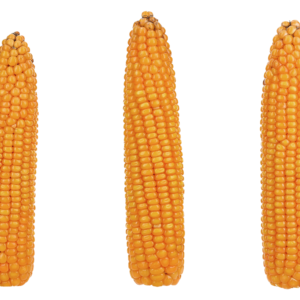 grapinga kukurydza igp 4 1