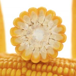 vulpix kukurydza igp 2 1