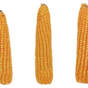 vulpix kukurydza igp 4 1